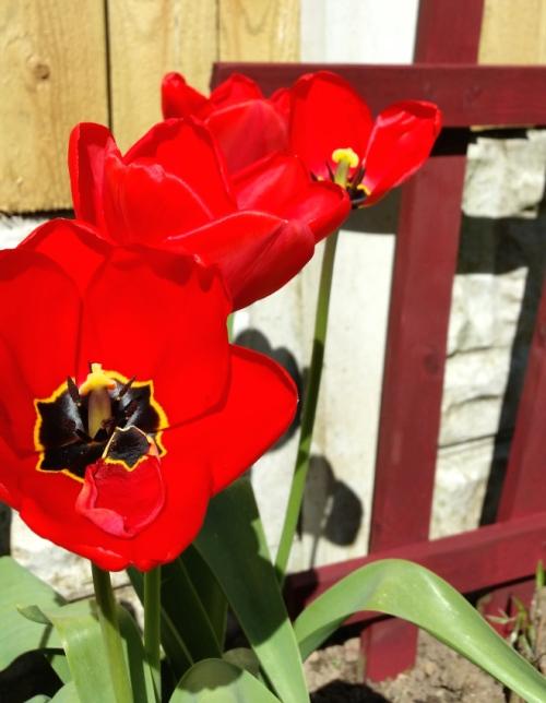 Poppy's in the garden